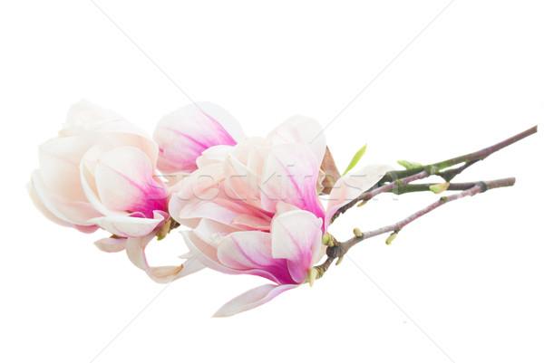 Pembe manolya ağaç çiçekler beyaz Stok fotoğraf © neirfy