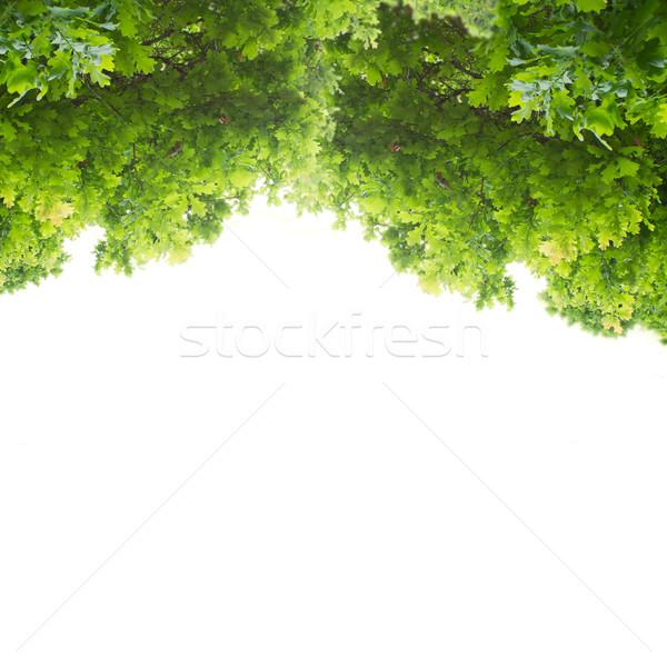 Verde roble hojas aislado blanco resumen Foto stock © neirfy