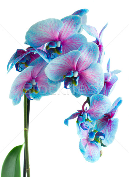 Stengel Blauw orchideeën vers geïsoleerd Stockfoto © neirfy