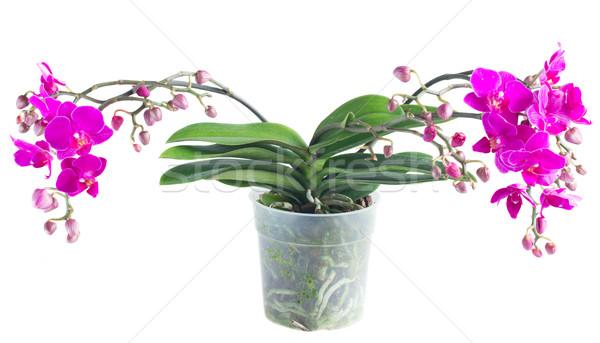 Foto stock: Monte · violeta · orquídeas · folhas · verdes · pote · isolado