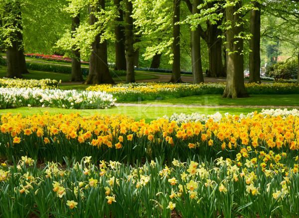 Narcisos primavera jardim grama gramado amarelo Foto stock © neirfy