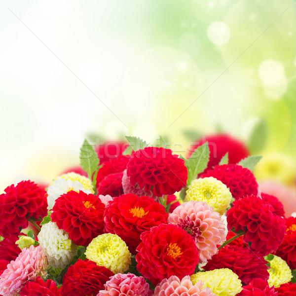 Taze dalya çiçekler yeşil bahçe Stok fotoğraf © neirfy