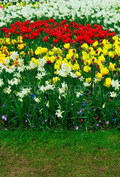 тюльпаны нарциссов свежие белый весны растущий Сток-фото © neirfy