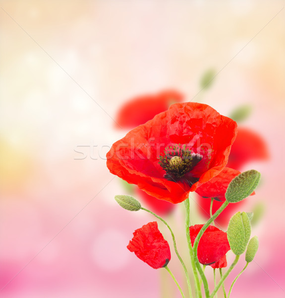 Poppy flowers on pink Stock photo © neirfy