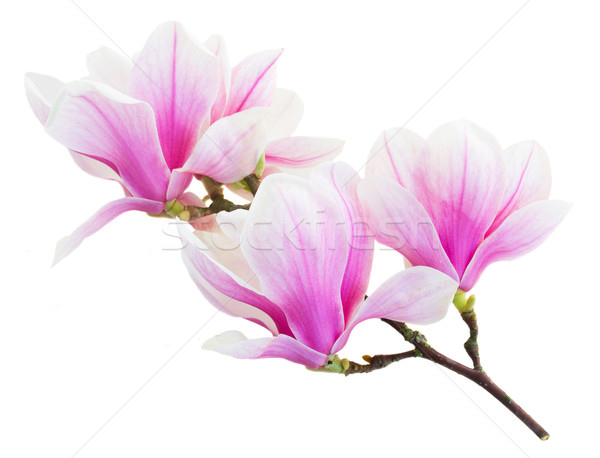 Stock photo: Blossoming pink  magnolia Flowers