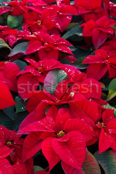 Flores rojo flor naturaleza fondo Foto stock © neirfy