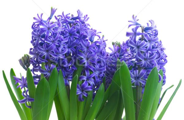 Fleurs du printemps bleu fraîches jacinthe floraison fleurs Photo stock © neirfy