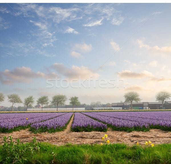 Dutch spring hyacinth flowers field Stock photo © neirfy