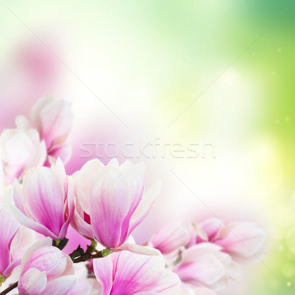 Różowy magnolia kwiaty gałązka Zdjęcia stock © neirfy