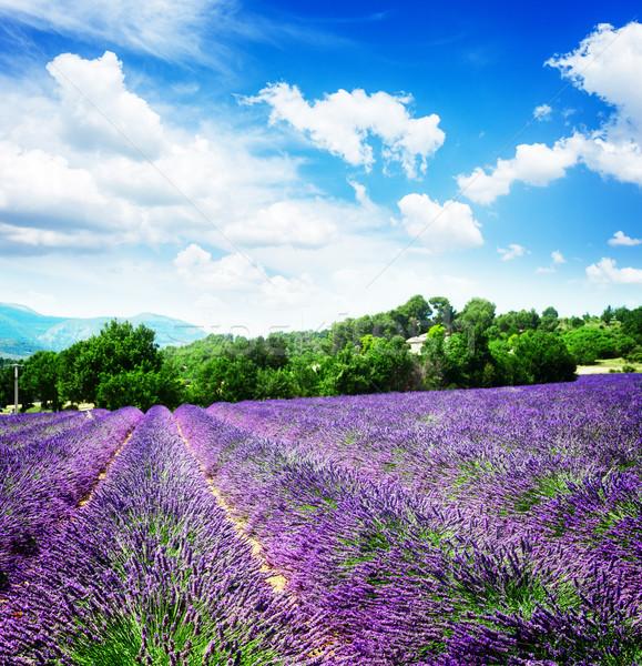 Campo de lavanda lavanda flores campo verão blue sky Foto stock © neirfy