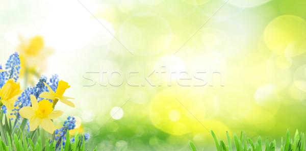 春 水仙 緑 庭園 バナー コピースペース ストックフォト © neirfy