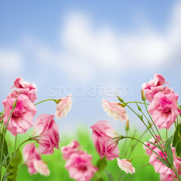 eustoma flower meadow Stock photo © neirfy