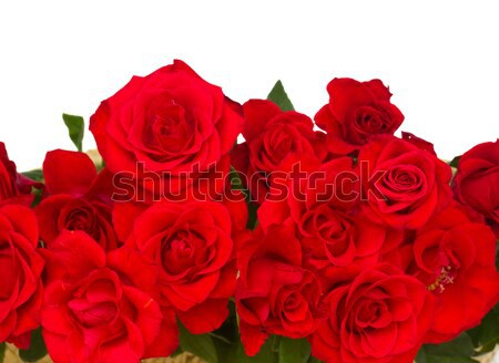 border of blooming scarlet roses Stock photo © neirfy