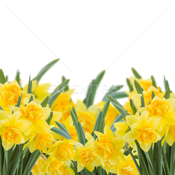 yellow narcissus on white Stock photo © neirfy