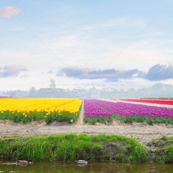 Holland citromsárga ibolya tulipán mezők napos idő Stock fotó © neirfy