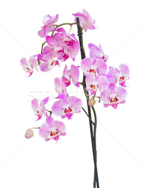 Rózsaszín orchidea ág izolált fehér virág Stock fotó © neirfy