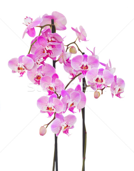 Stok fotoğraf: Pembe · orkide · şube · çiçekler · yalıtılmış · beyaz