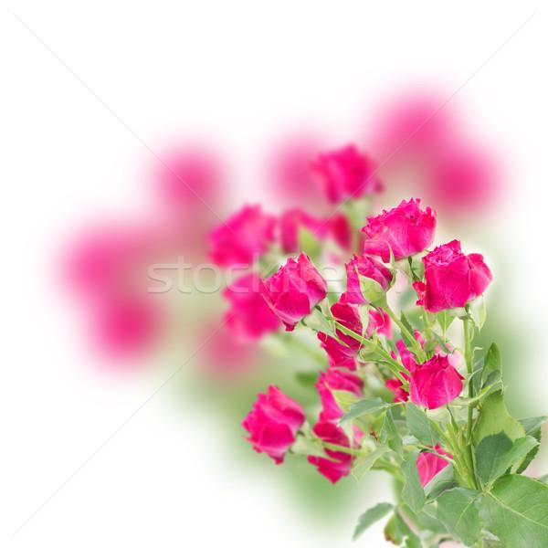 ág friss mályvaszínű rózsák fehér húsvét Stock fotó © neirfy