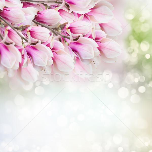 розовый магнолия дерево цветы свежие синий Сток-фото © neirfy