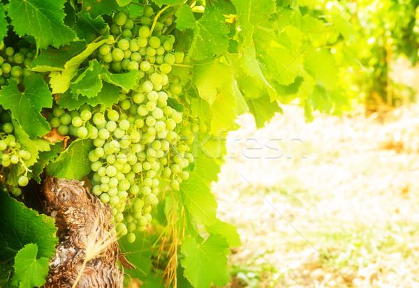 growing white grape Stock photo © neirfy