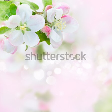 Apple tree blossom Stock photo © neirfy
