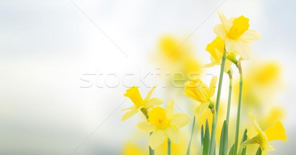 spring daffodils in  garden Stock photo © neirfy