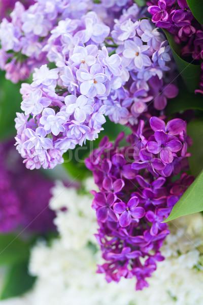 Orgona virágok közelkép friss kék ibolya Stock fotó © neirfy