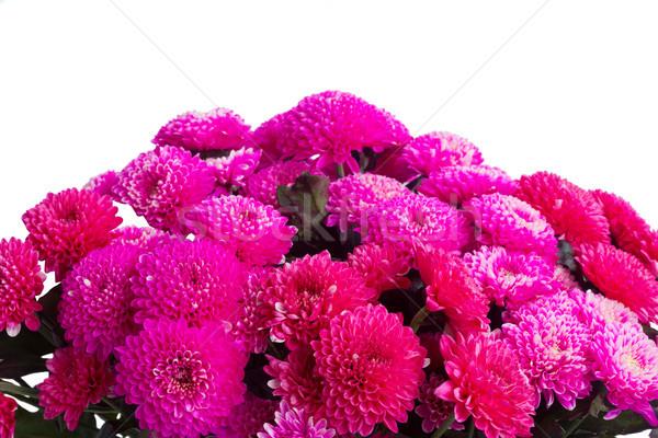 Blauw chrysant bloemen magenta roze grens Stockfoto © neirfy