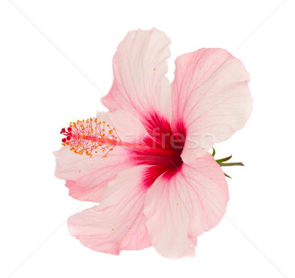 Rózsaszín hibiszkusz virág izolált fehér természet Stock fotó © neirfy