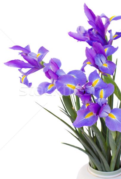 bouquet of irises flowers Stock photo © neirfy