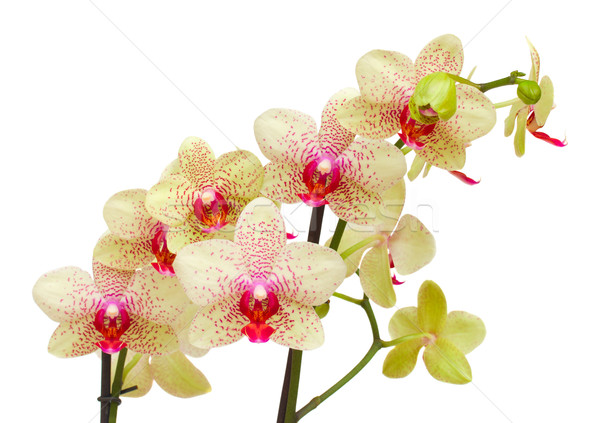 Stock photo: yellow and red orchid   branch
