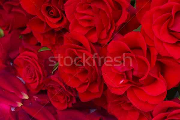bouquet of scarlet  roses Stock photo © neirfy