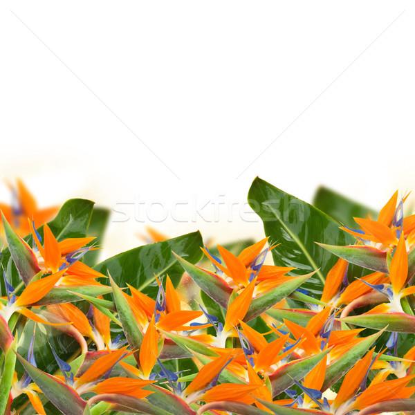 Strelitzia flowers border Stock photo © neirfy