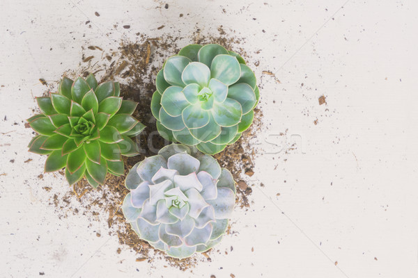 Succulente crescita impianti verde bianco legno Foto d'archivio © neirfy