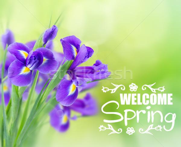 blue irise flowers Stock photo © neirfy