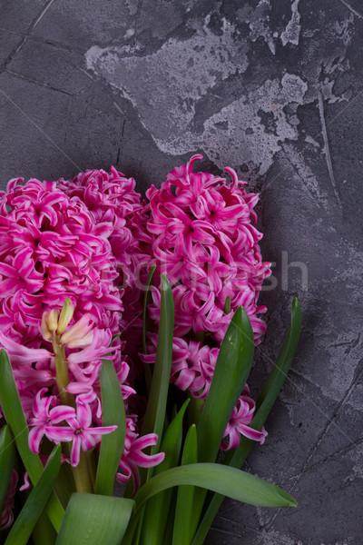 Jacinto fresco flores rosa escuro Foto stock © neirfy