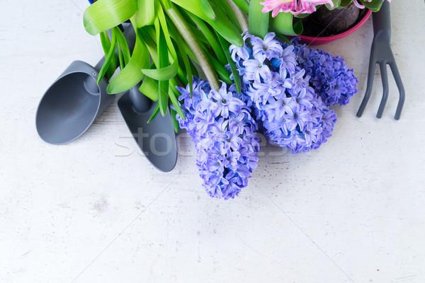 ガーデニング ヒヤシンス 新鮮な 花 青 スペード ストックフォト © neirfy