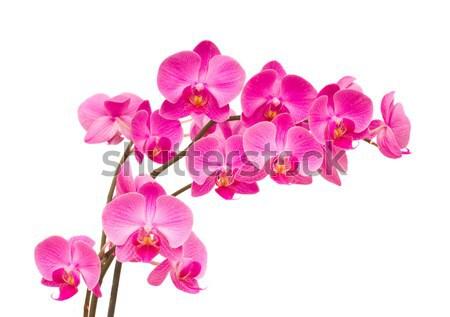 orchideas Stock photo © neirfy