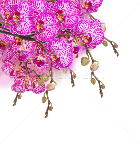 orchid flowers  branch Stock photo © neirfy