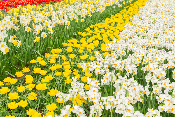 holland tulips and daffodils field Stock photo © neirfy