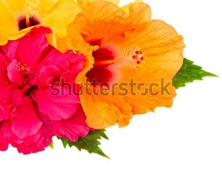 Rojo frescos hibisco flor hojas verdes aislado Foto stock © neirfy