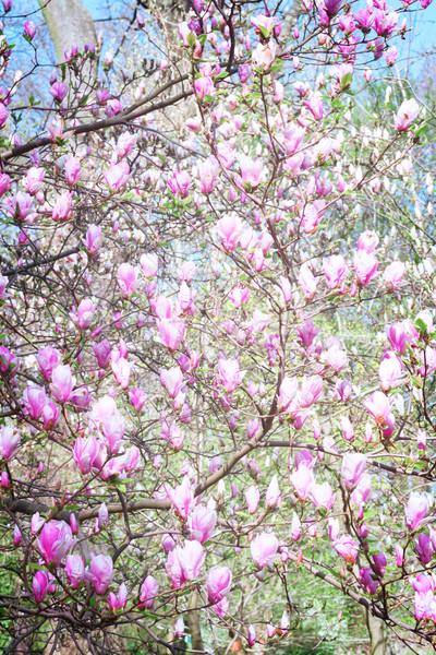 Magnolia retro boom roze bloemen Stockfoto © neirfy