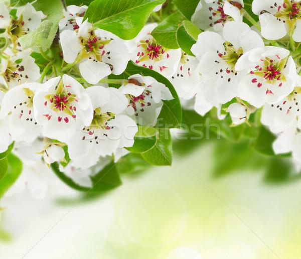 Virágzó almafa virágok zöld levelek zöld bokeh Stock fotó © neirfy