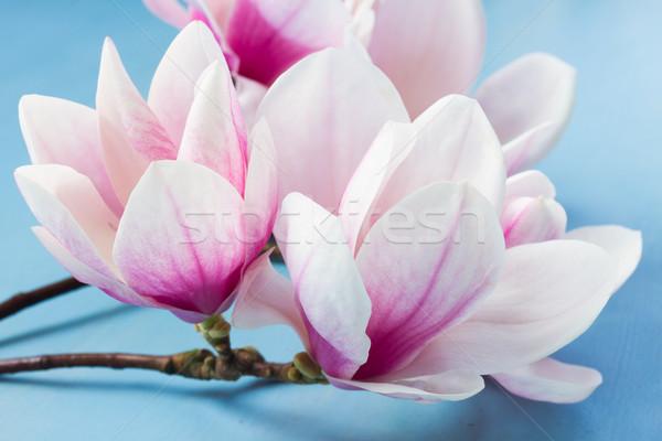 Magnolia roze bloemen Blauw houten Stockfoto © neirfy