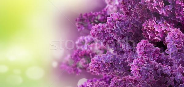 Lila flores verde frescos Foto stock © neirfy