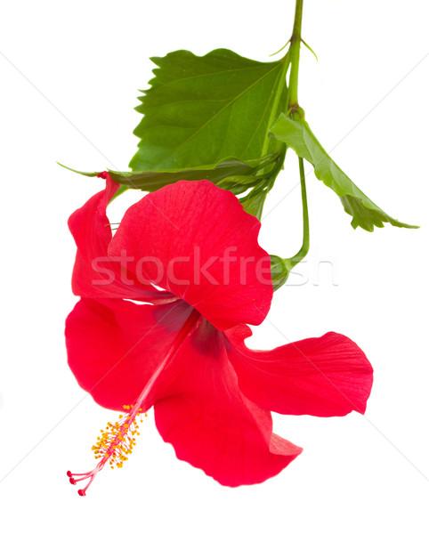 Piros hibiszkusz virág izolált fehér szeretet Stock fotó © neirfy