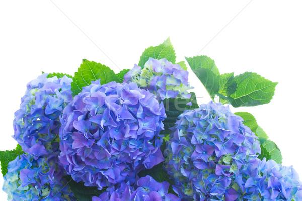 Frontera azul flores hojas verdes aislado blanco Foto stock © neirfy