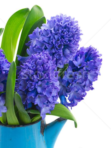 Azul jacinto flores pote isolado Foto stock © neirfy