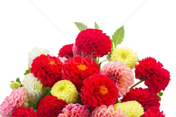 Dalia kwiaty świeże odizolowany biały Zdjęcia stock © neirfy