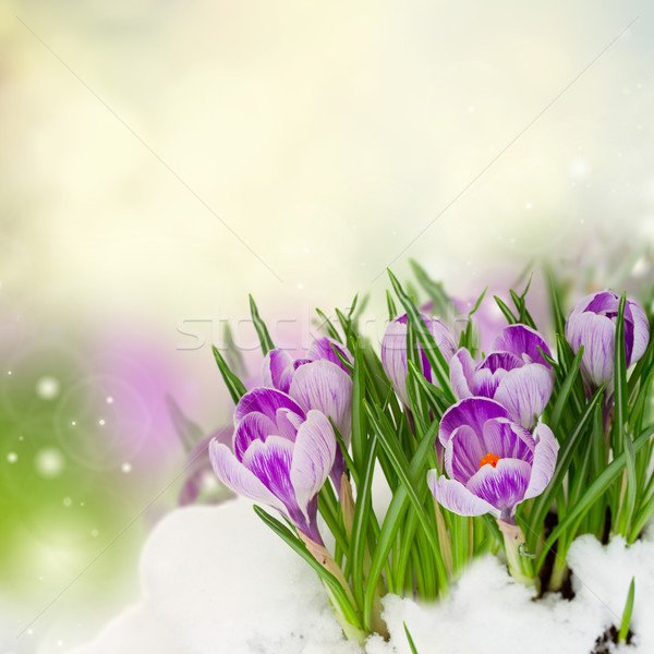 Stockfoto: Voorjaar · sneeuw · Blauw · bloemen · bokeh · Pasen
